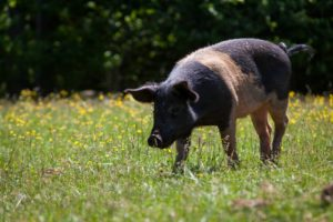 Pig among wild flowers