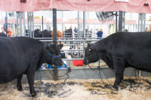 Two steers who will soon be turned into slabs of plastic wrapped flesh